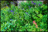 Multicolored wildflowers. Jedediah Smith Wilderness,  Caribou-Targhee National Forest, Idaho, USA ( color)