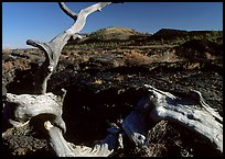Tree skeleton and lava field, Craters of the Moon National Monument. Idaho, USA ( color)