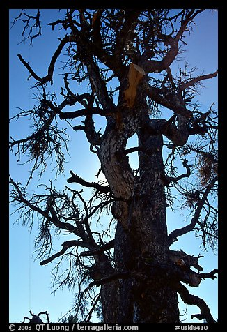 Backlit dead tree, Craters of the Moon National Monument. Idaho, USA (color)