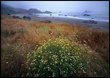 Flowers, grasses, and off-shore rocks in the fog. Oregon, USA