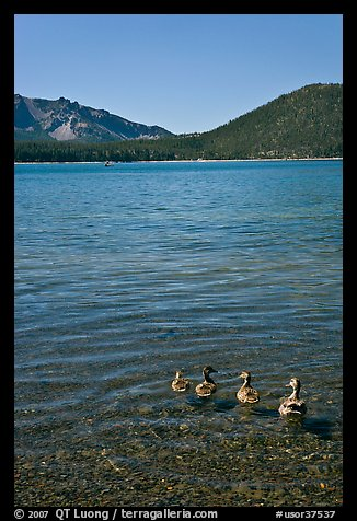 Ducks on shore of East Lake. Newberry Volcanic National Monument, Oregon, USA (color)