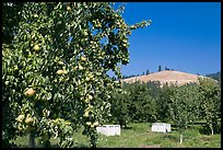 Pear orchard. Oregon, USA (color)