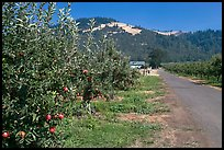 Apple orchard and road. Oregon, USA