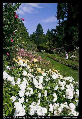 White roses, Rose Garden. Portland, Oregon, USA (color)