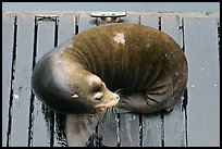 Sea Lion sleeping on pier. Newport, Oregon, USA (color)