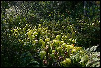 Dense patch of cobra-lilies (Californica Darlingtonia). Oregon, USA