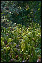 Dense patch of cobra orchids carnivorous plants  (Californica Darlingtonia). Oregon, USA