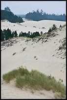 Grasses, trees, and dunes, Oregon Dunes National Recreation Area. Oregon, USA ( color)