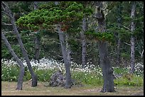 Trees and wildflowers, Shore Acres. Oregon, USA ( color)