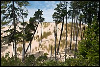 Pine trees and dunes, Oregon Dunes National Recreation Area. Oregon, USA (color)