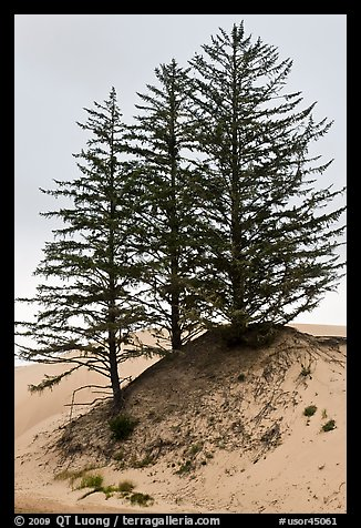 Pine trees on Umpqua dunes, Oregon Dunes National Recreation Area. Oregon, USA (color)