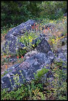 Rocks and wildflowers. Cascade Siskiyou National Monument, Oregon, USA ( color)