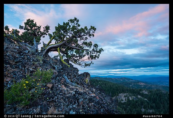 Juniper and wildflowers at sunset, Boccard Point. Cascade Siskiyou National Monument, Oregon, USA (color)