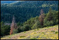 Wildflowers and conifer forest. Cascade Siskiyou National Monument, Oregon, USA ( color)