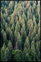 White fir forest from above. Cascade Siskiyou National Monument, Oregon, USA ( color)