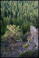 Outcrop, wildflowers, and mixed conifer forest. Cascade Siskiyou National Monument, Oregon, USA ( color)