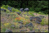 Wildflowers and rocks in clearing. Cascade Siskiyou National Monument, Oregon, USA ( color)