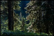 Backlit lush forest near Grizzly Peak. Cascade Siskiyou National Monument, Oregon, USA ( color)