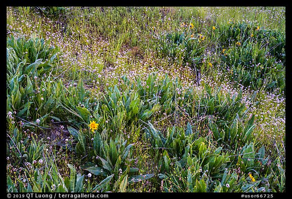 Detail of wildflower meadow near Grizzly Peak. Cascade Siskiyou National Monument, Oregon, USA (color)