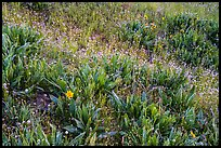 Detail of wildflower meadow near Grizzly Peak. Cascade Siskiyou National Monument, Oregon, USA ( color)