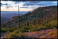 Hillside with burned trees, Grizzly Peak. Cascade Siskiyou National Monument, Oregon, USA ( color)