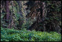 Wildflowers in lush forest near Grizzly Peak. Cascade Siskiyou National Monument, Oregon, USA ( color)