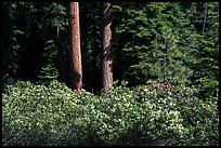 Shrubs in bloom and tree trunks, Surveyor Mountains. Cascade Siskiyou National Monument, Oregon, USA ( color)