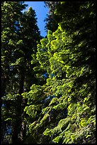 Looking up pine trees with light green needles, Surveyor Mountains. Cascade Siskiyou National Monument, Oregon, USA ( color)