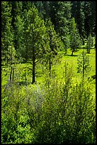 Ponderosa Pines in meadow. Cascade Siskiyou National Monument, Oregon, USA ( color)