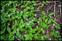 Close up of forest floor with white flowers. Cascade Siskiyou National Monument, Oregon, USA ( color)