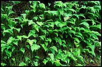 Ferns on wall, Columbia River Gorge. Columbia River Gorge, Oregon, USA ( color)