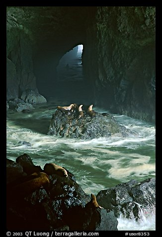Sea Lions in sea cave. Oregon, USA (color)
