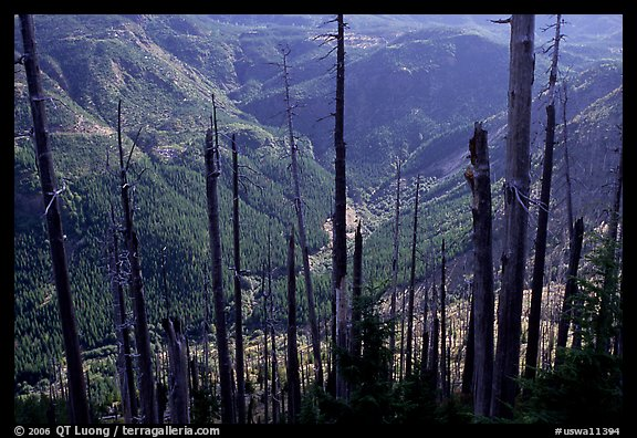 Tree squeletons and valley at the Edge. Mount St Helens National Volcanic Monument, Washington (color)