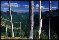 Bare tree trunks at the Edge. Mount St Helens National Volcanic Monument, Washington (color)