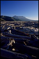 Tree trunks cover Spirit Lake, late afternoon. Mount St Helens National Volcanic Monument, Washington (color)