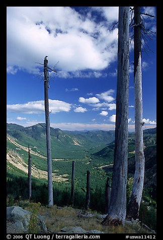 Dead tree trunks at the Edge. Mount St Helens National Volcanic Monument, Washington (color)