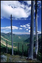 Dead tree trunks at the Edge. Mount St Helens National Volcanic Monument, Washington