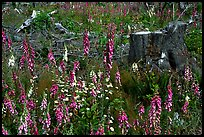 Close-up of tree stumps and wildflowers, Olympic Peninsula. Olympic Peninsula, Washington ( color)