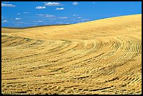 Yellow field with curved plowing patterns, The Palouse. Washington (color)