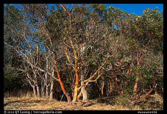 Madrone trees with orange peeling bark, Lime Point State Park, San Juan Island. Washington (color)