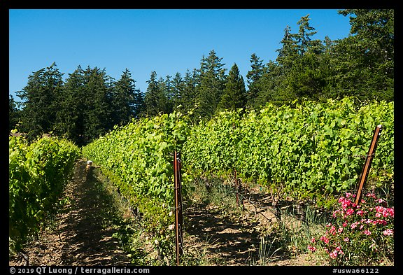 Vineyard, Lopez Island. Washington (color)