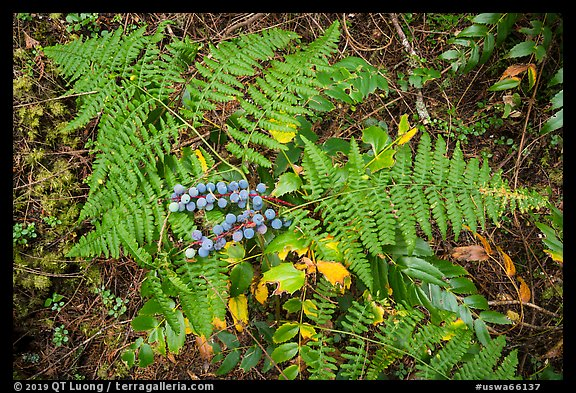 Close-up of ferns and berries, San Juan Islands National Monument, Lopez Island. Washington (color)