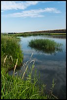 Aquatic grasses on the banks of Columbia River, Ringold Unit, Hanford Reach National Monument. Washington ( color)