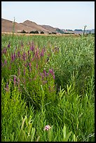 Wildflowers, Ringold Unit, Hanford Reach National Monument. Washington ( color)