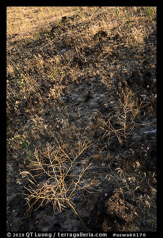 Grasses on lava slope, Hanford Reach National Monument. Washington (color)