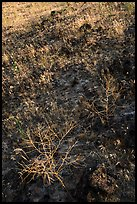 Grasses on lava slope, Hanford Reach National Monument. Washington ( color)