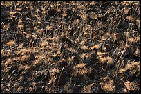 Close up of grasses and volcanic rocks, Hanford Reach National Monument. Washington ( color)