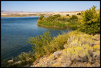 Rabbitbrush in bloom on shore of Columbia River, Hanford Reach National Monument. Washington ( color)