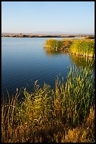 Cattails and Wahluke Ponds, early morning, Hanford Reach National Monument. Washington ( color)