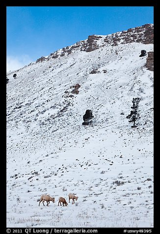 Bighorn sheep family on snowy slope. Jackson, Wyoming, USA (color)